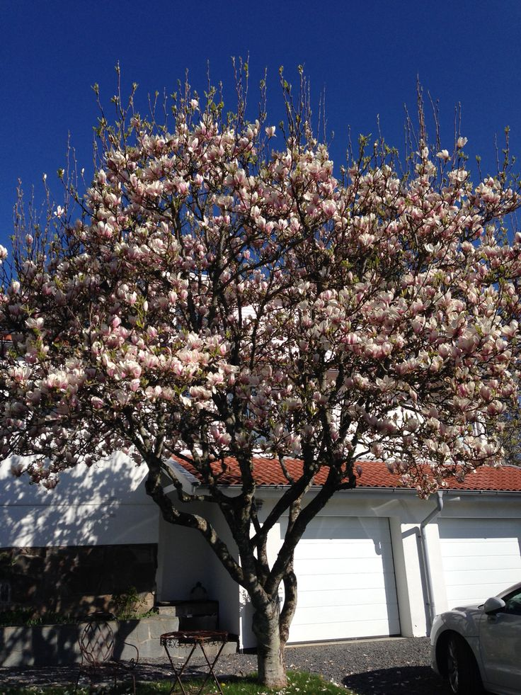Vår magnolia i blom i år!