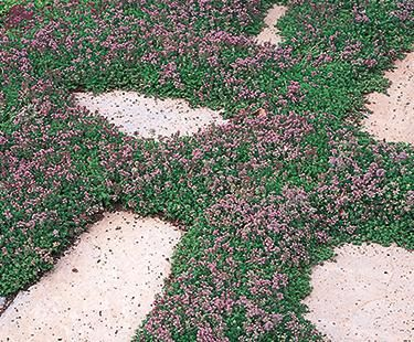 Creeping Thyme ground cover for inexpensive potted plants in full sun.
