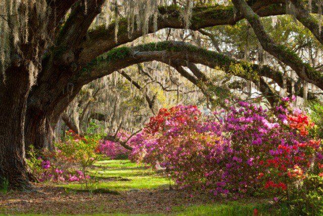 Live Oaks and azaleas in Charlston, South Carolina