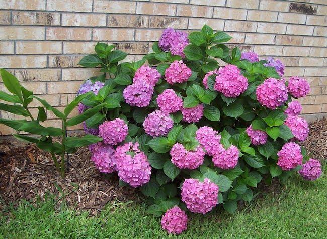 15 Low Maintenance Shrubs Anyone Can Grow Low Maintenance Shrubs Shrubs For Landscaping Shrubs