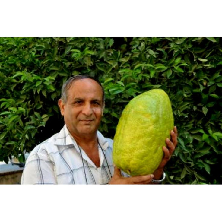 Giant Corsican Citron Seeds - 4 kg fruit (Citrus medica Cedrat)  3,70€  Giant Corsican Citron Seeds - 4 kg fruit (Citrus medica Cedrat) Price for Package of 2 seeds. The Corsican citron (alimea in corsican cedrat in french) is a citron variety that contains a non-acidic pulp. The name is from its most original cultivation center which is even today, at the French Island of Corsica or Corse. It is said to be one of the first citrus fruit to reach the Corsican soil.