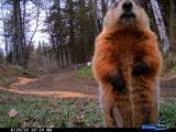A curious woodchuck confronts my cam......: Woodchuck Confrontation, Preserves Newport, Hunt'S Preserves, Newport Maine, Hindsit Hunt'S, Curious Woodchuck