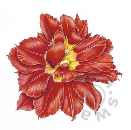 Ann Swan - Single Tulip Flower