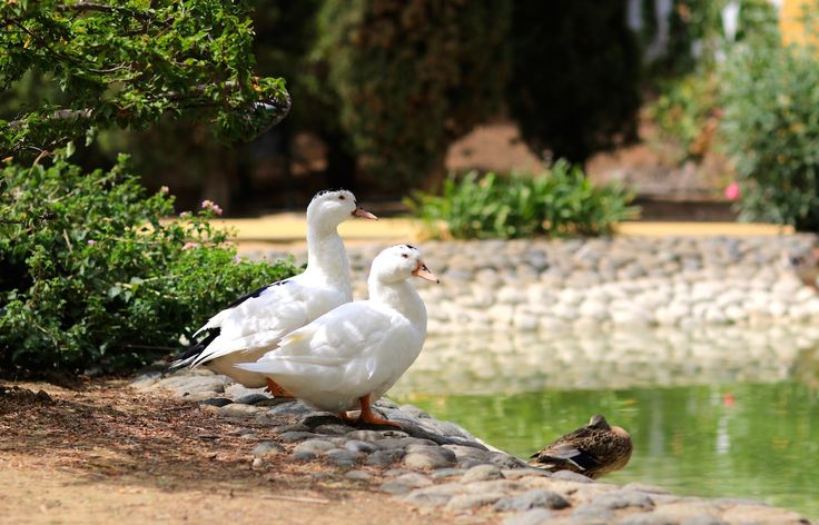 White ducks in Marbella