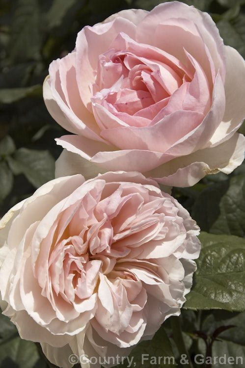 Rosa 'Botzaris', a Damask rose of unknown parentage that has been in cultivation since at least 1856. It grows to around 1m tall.