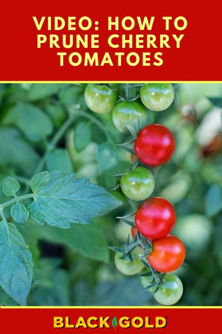 How To Prune Cherry Tomatoes Pruning Tomatoes Cherry Video Cherrytomatoes Tomato Prune Tomato Pruning Cherry Tomatoes Prune