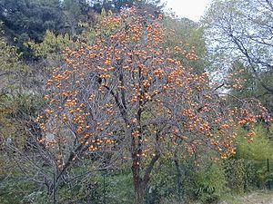 """""""Die #Ebenholzgewächse ( #Ebenaceae ) sind eine Pflanzenfamilie in der Ordnung der Heidekrautartigen (Ericales) innerhalb der Bedecktsamigen Pflanzen (Magnoliopsida). In der Familie gibt es etwa vier Gattungen mit etwa 490 Arten. Am bekanntesten ist die in den Tropen Ostindiens und Afrikas heimische Gattung Ebenholzbäume und Dattelpflaumen (Diospyros) mit etwa 475 bis 485 Arten.  #Kakipflaume oder einfach Kaki (Diospyros kaki), Baum mit reifen Früchten (Persimmon)"""