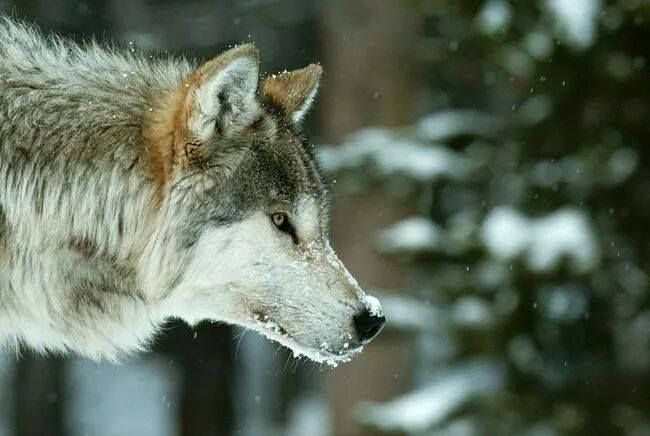 Best 25+ Facts about wolves ideas on Pinterest ...