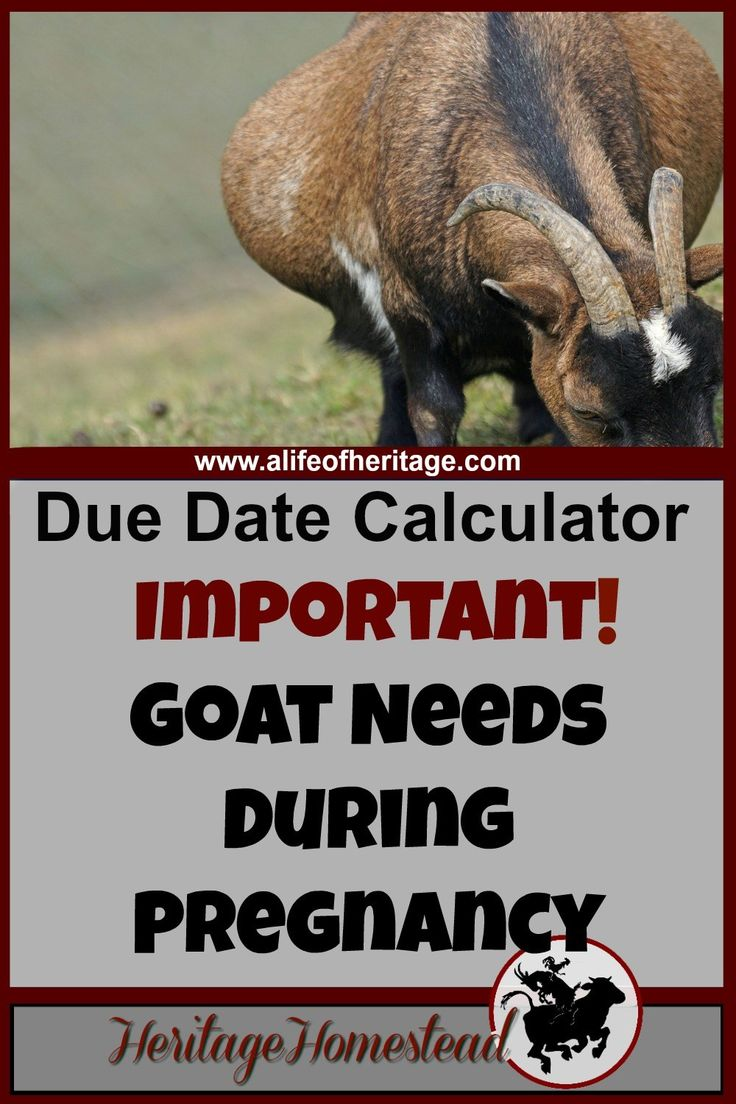 Goat due date calculator | Feed and care a goat needs during pregnancy | Goat pregnancy care | Goat pregnancy | Goat care | Your primary job as a goat owner is to give all of your animals excellent nutrition choices. And pregnant does have even more needs to support optimal health.