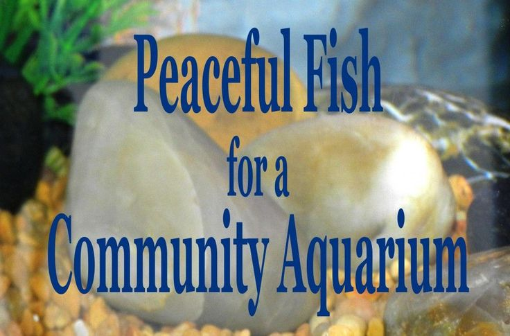Peaceful community fish for a freshwater aquarium for Good community fish