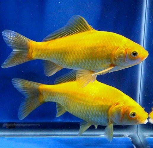 25 best comet goldfish ideas on pinterest beautiful for Blue ridge fish hatchery