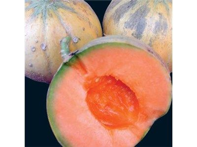 "Charentais Melon | Baker Creek Heirloom Seed Co:  the very, very best, fragrant bright orange flesh, ""superb"" is right!  If I could grow only one variety, I would look no further, so very French."