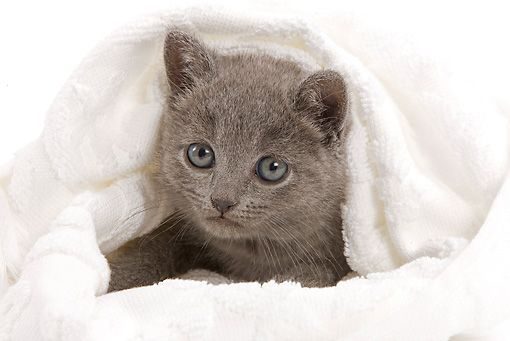 CAT 03 JE0030 01 © Kimball Stock Chartreux Kitten Laying In White Blanket