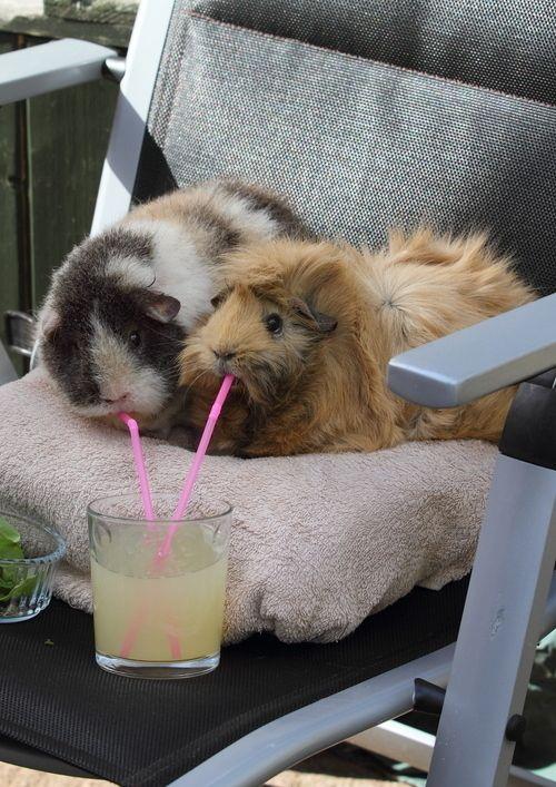 Estos dos peludos conejillos de Indias disfrutando de una buena y regrescante bebida en el patio.