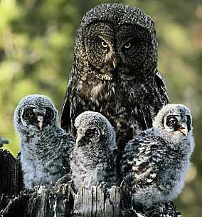 Great Grey Owls typically lay 2-4 eggs in early spring. They often use old eagles' or hawks' nests in forested areas
