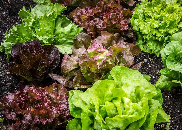 Planting lettuce, growing lettuce, and harvesting lettuce in the garden. Tips and advice from The Old Farmer's Almanac.