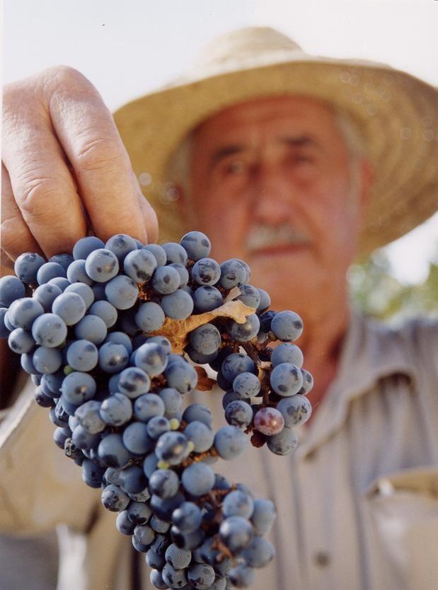 Excelentes uvas de Mendoza, para obtener un vino muy reconocido en el mundo.