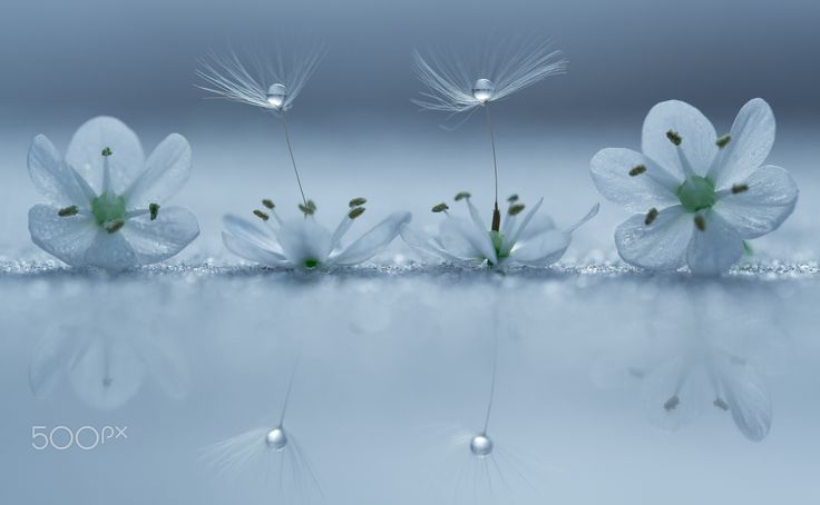Blue Balance & Symmetry - Another one of my dandelion artworks,hope you will…