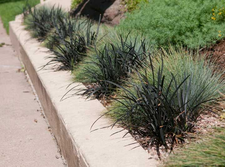 Alternating blue fescue and black mondo grass