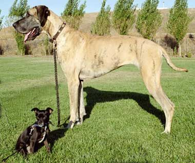 Big ol' great dane, I've always wanted one. They may look big and scary, but they are one of the sweetest dogs ever and make great lap dogs