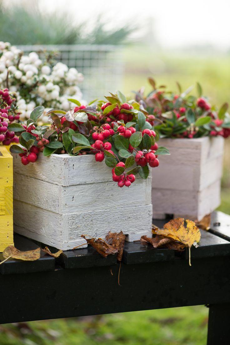 Die unterschiedlich farbigen Beeren der Scheinbeere. #pflanzenfreude