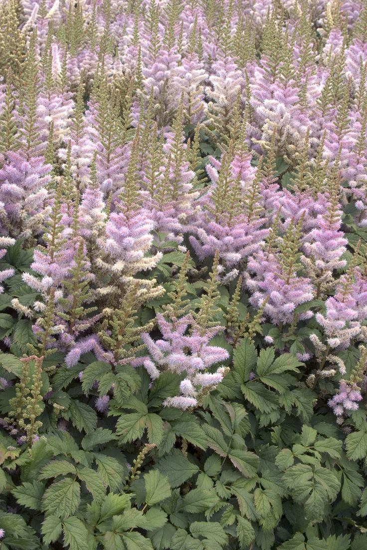 Chinese Astilbe Astilbe Chinensis 39 Pumila 39 Outstanding
