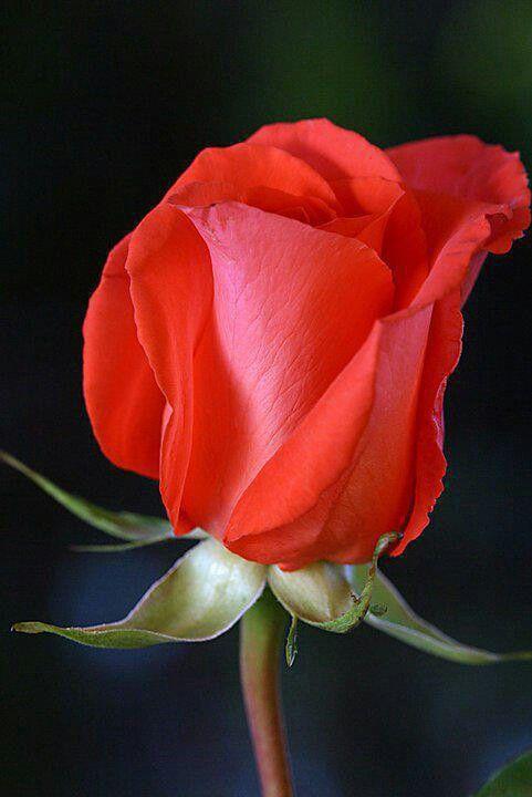 La rosa es una de las flores mas hermosas tu casa hilera y se vera mucho mucho mejor
