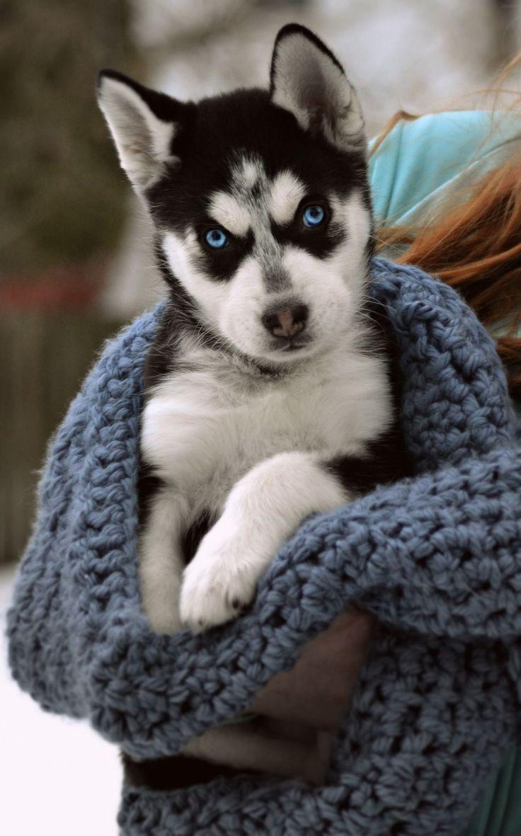 My siberian husky puppy. #siberianhusky#puppy