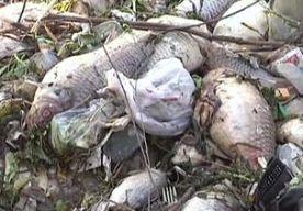 8-Apr-2013 9:59 - HONDERDEN DODE VISSEN BIJ SJANGHAI. In een kanaal in China zijn de afgelopen week honderden dode vissen gevonden. De vissen werden in de omgeving van Sjanghai ontdekt op zon 100 kilometer van de plek waar vorige maand nog duizenden dode varkens uit het water zijn gehaald. Veel inwoners van Sjanghai maken zich zorgen over de waterkwaliteit, maar volgens de autoriteiten is het water niet vervuild. De vissen zijn geëlektrocuteerd door vissers, vermoeden Chinese autoriteiten.