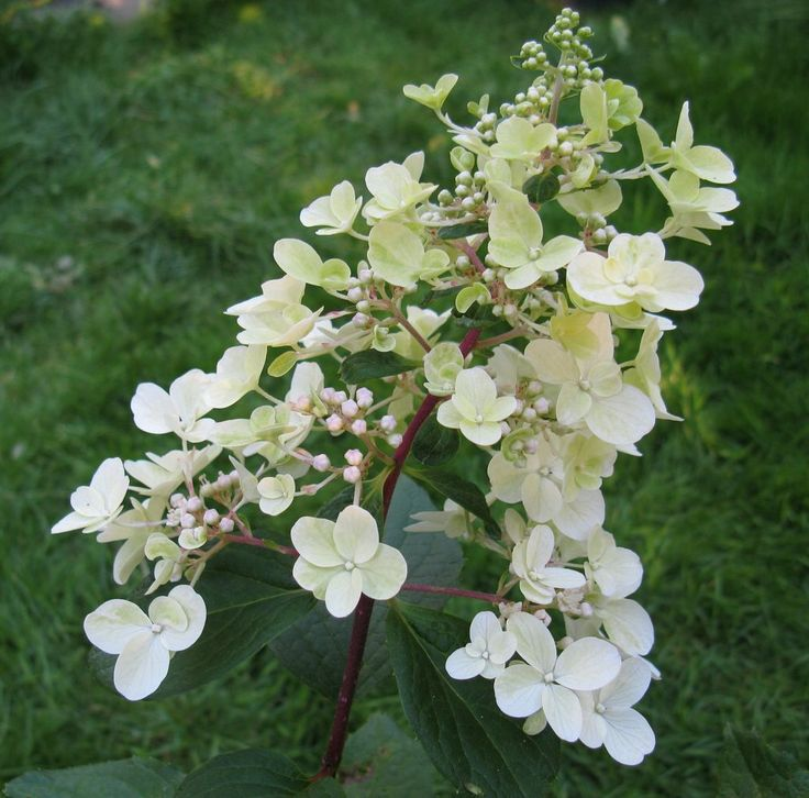 25 best ideas about hydrangea paniculata pinky winky on. Black Bedroom Furniture Sets. Home Design Ideas