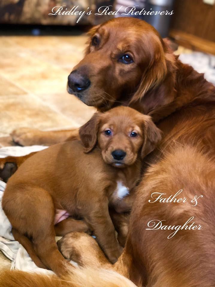 Golden Retriever Puppies Pennsylvania Puppies For Sale Litter Of 9 Golden Retriever Puppies For Sale In Pal In 2020 Red Retriever Puppy Golden Retriever Red Retriever