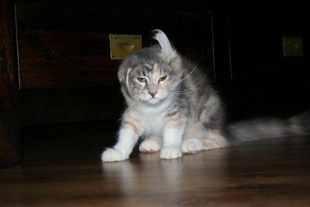 Kat met aparte oren