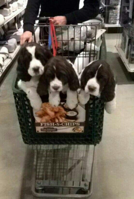 Springer Spaniels - A basket full of love! ♡