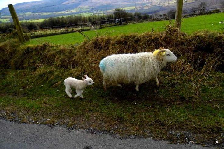 Irish traffic jam! #coppercoast #waterford #ireland #sheep