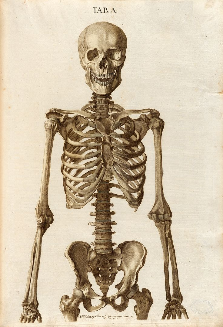 Анатомия скелета человека в картинках