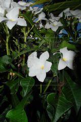 http://www.tudosobreplantas.com.br/plantas/Plumeria_pudica.htm  Nome Científico: Plumeria pudica  Autor: Jacq.  Nome(s) Popular(es): Jasmim-da-Venezuela, Buquê-de-noiva, Frangipane-branco, Frangipana  Família (Cronquist): Apocynaceae  Família (APG2): Apocynaceae  Gênero: Plumeria  Foto: Anderson Porto