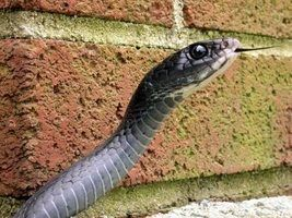 The black racer up close