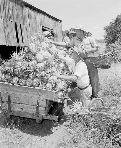Harvesting a pineapple crop at the Hallett brothers' farm at Brookfield, in Brisbane's west.