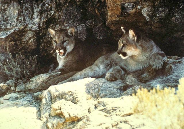 Mountain lions (cougars). Cougar - Cool and Interesting Facts for Kids