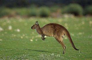 Red Kangaroo Habitat 206 best images about ...