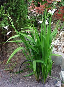 Gladiolus murielae - Wikipedia, la enciclopedia libre