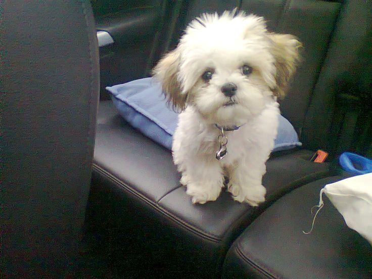 My adorable puppy, Simba. He`s a teddy bear zuchon.