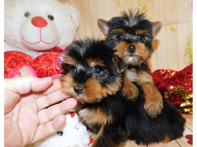 Pin On Dogs Puppies For Sale