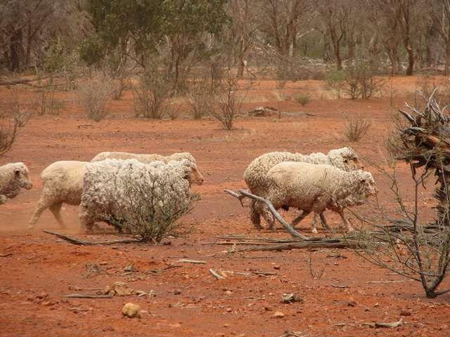 Australian outback | Australian Outback Merino Sheep