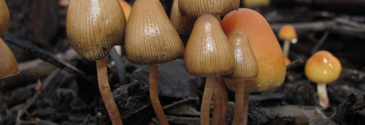 Utilizan hongos alucinógenos como tratamiento para la depresión