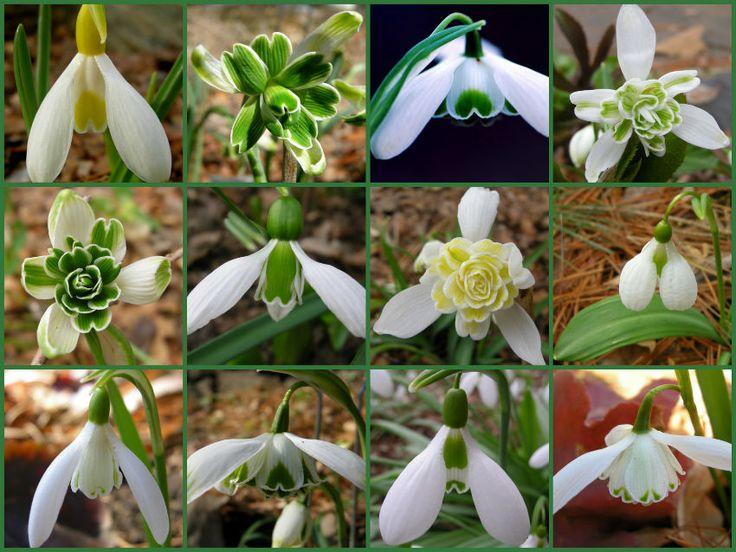 Ghiocelul - Galanthus nivalis