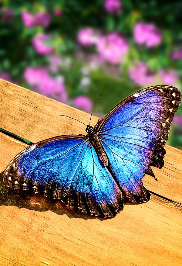 Blue Morpho Butterfly on a Wooden Board by Tim Abeln Photography and Digital Art Prints. Beautiful wall decoration for your home and office.As its common name implies, the blue morpho butterfly's wings are bright blue, edged with black. The blue morpho is among the... #butterfly #art #photography #wallart #homedecor #decoration