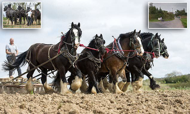 Land owner, 57, uses five ONE-TONNE Shire horses to work his 100 acres