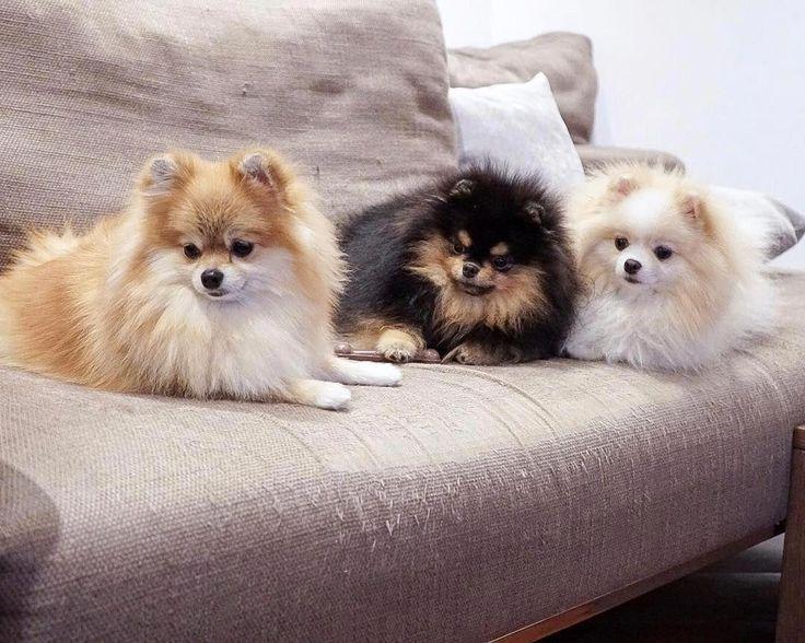 Pomeranian Puppy Tattoo   – LOvE FoR AniMaLs :)