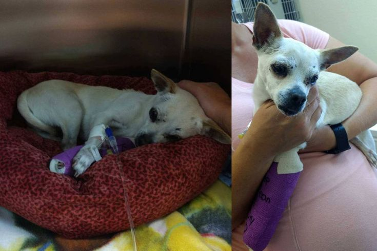 Krissy went missing on 05-22-17. Her family searched for her everywhere, posted on many L&F Pets sites and FB pages, filed report with Animal Services. Krissy was hit hard by a car. She has a broken leg, head/eye trauma and multiple pelvic fractures. She will need at least 3 surgeries. Her family has set up a GofundMe account because they need help to pay for her emergency vet care. Please help and share. Krissy's GoFundMe (https://www.gofundme.com/krissys-emergency-vet-care). Thank you so…